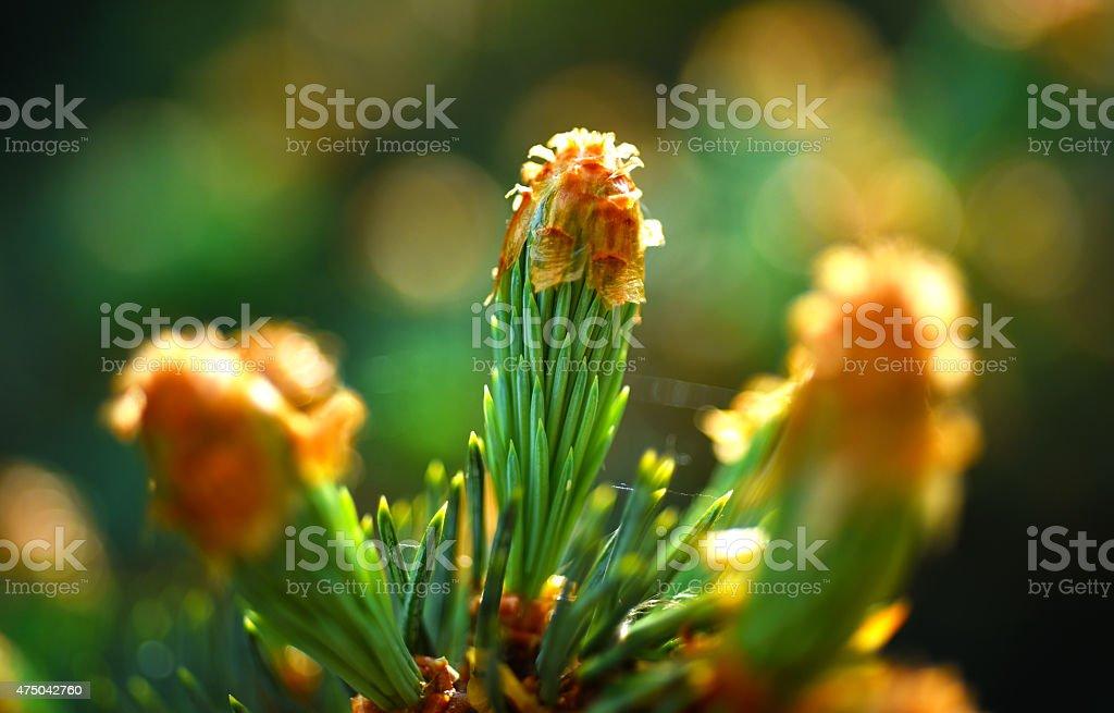 Young Scotch pine stock photo