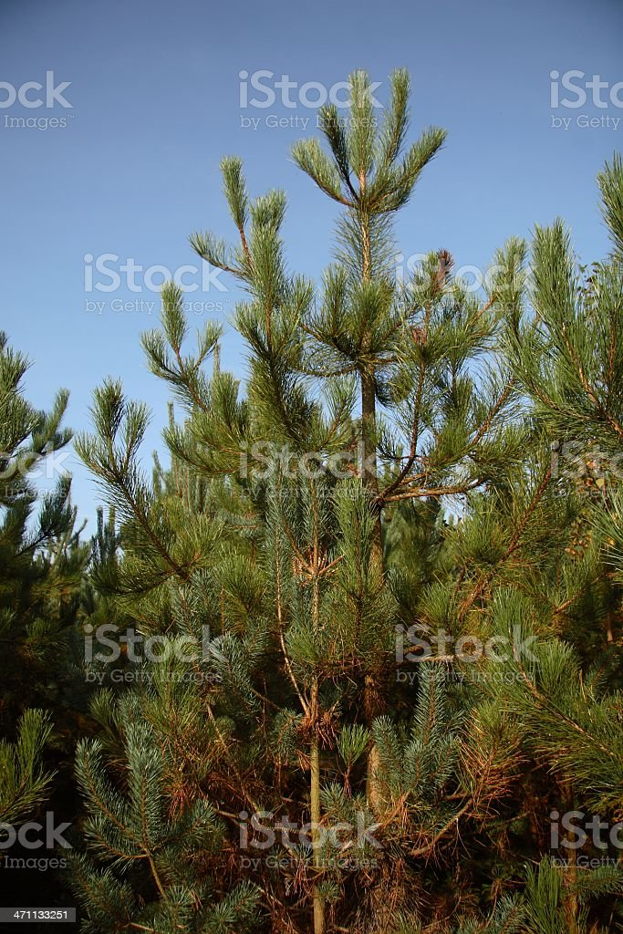 Young Scots Pines stock photo