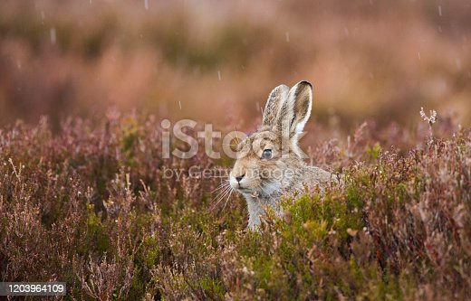 istock Young Scottish Mountain Hare photographed in the rain. 1203964109