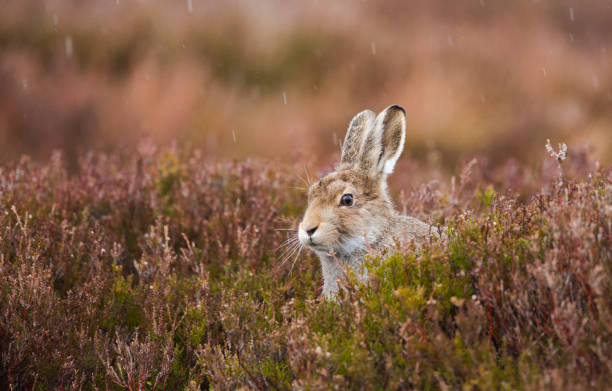 Young Scottish Mountain Hare photographed in the rain. stock photo