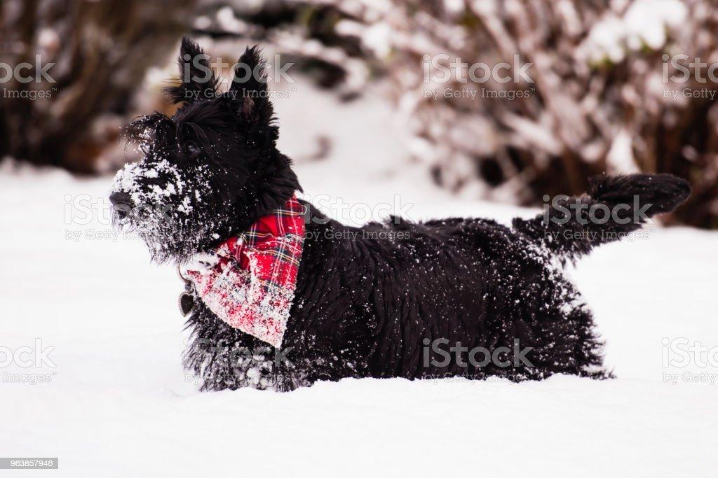 Junge Scottish Terrier Hund ihre ersten Erfahrungen im Schnee zu genießen. – Foto