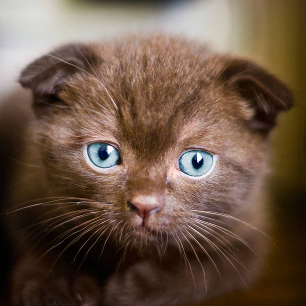 Best Scottish Fold Cat Stock Photos, Pictures & Royalty-Free Images
