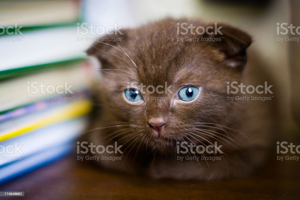 \'Portrait of young brown scottish-fold cat lying near stack of books...