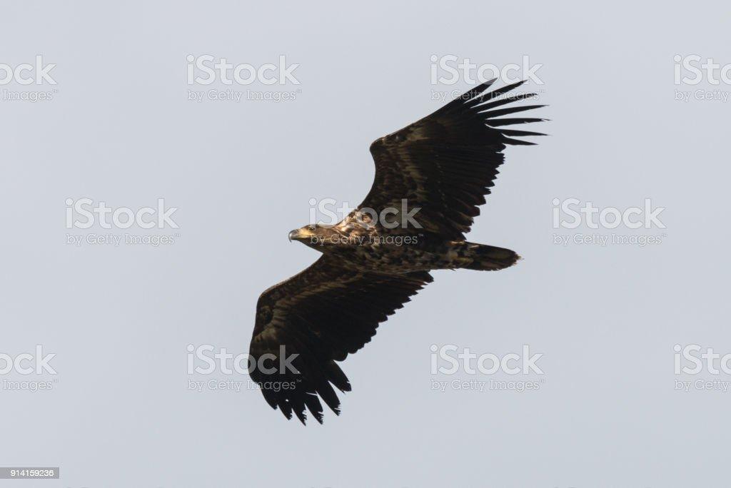 junge Seeadler im Flug Haliaeetus Horste – Foto
