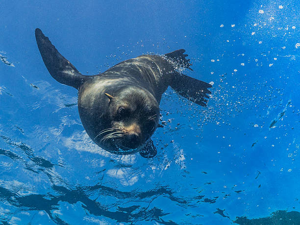 Young sea lion diving down from the surface Facial view of a young sea lion as it dives down from the surface, against a blue background. south american sea lion stock pictures, royalty-free photos & images
