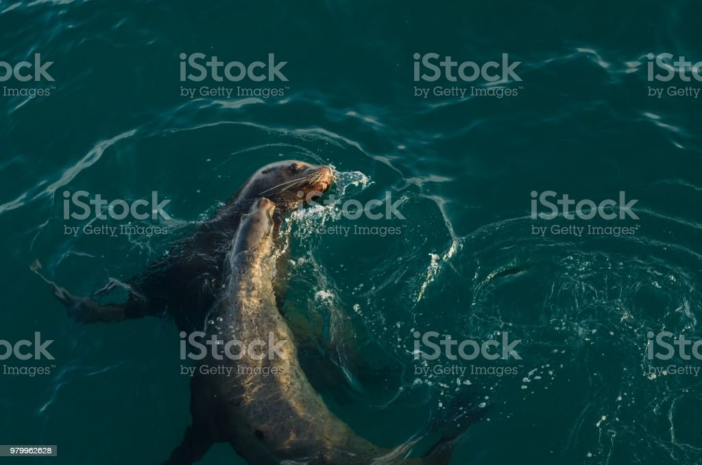 Young Sea lions play with each other stock photo
