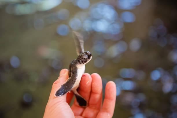 jonge schildpadden in hand - leatherback stockfoto's en -beelden