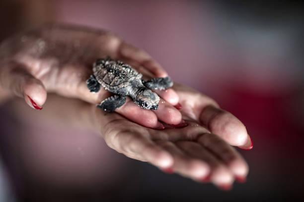 junge meeresschildkröten - rettungsinsel stock-fotos und bilder