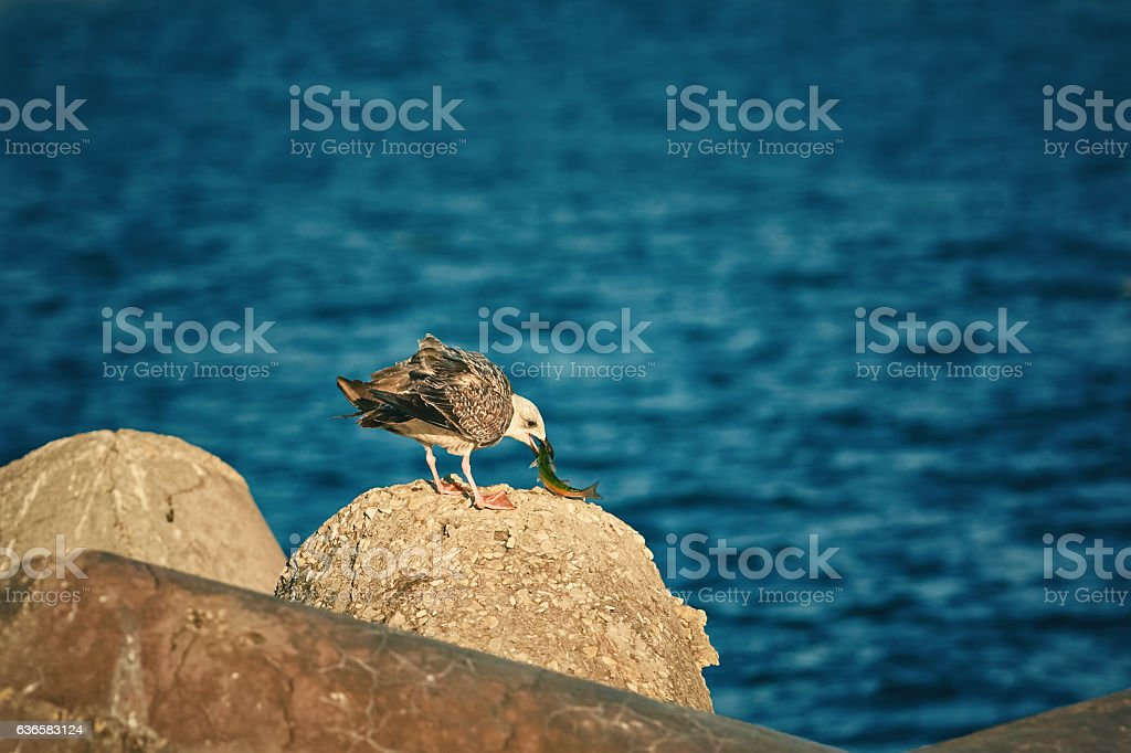 Young Seagull Eats a Fish stock photo
