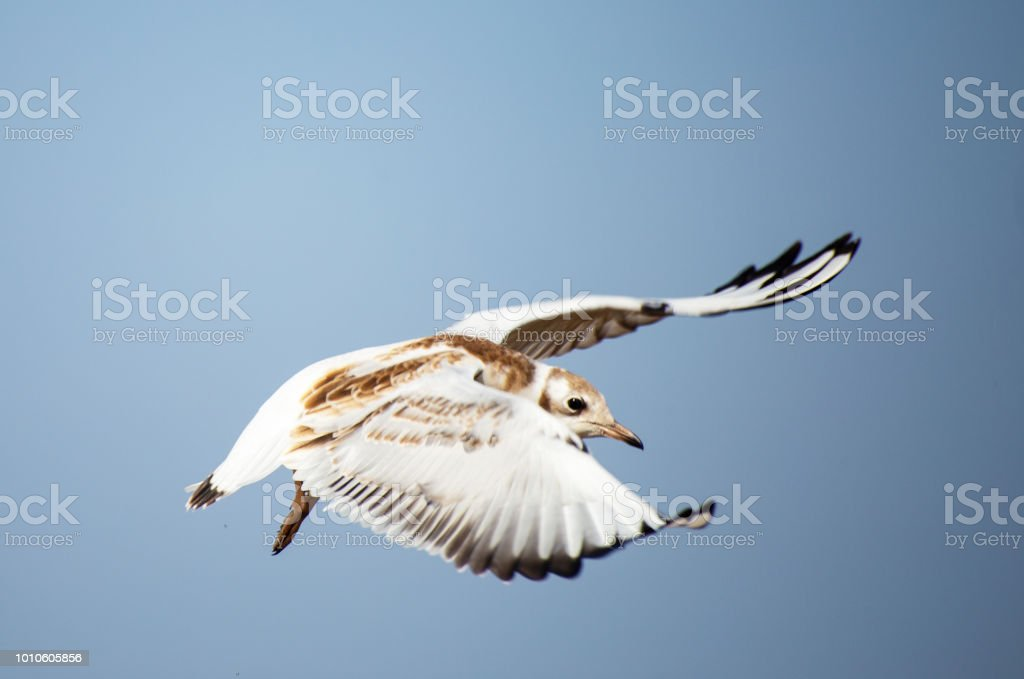 A young black-headed seagull, Chroicocephalus ridibundus, is flying...