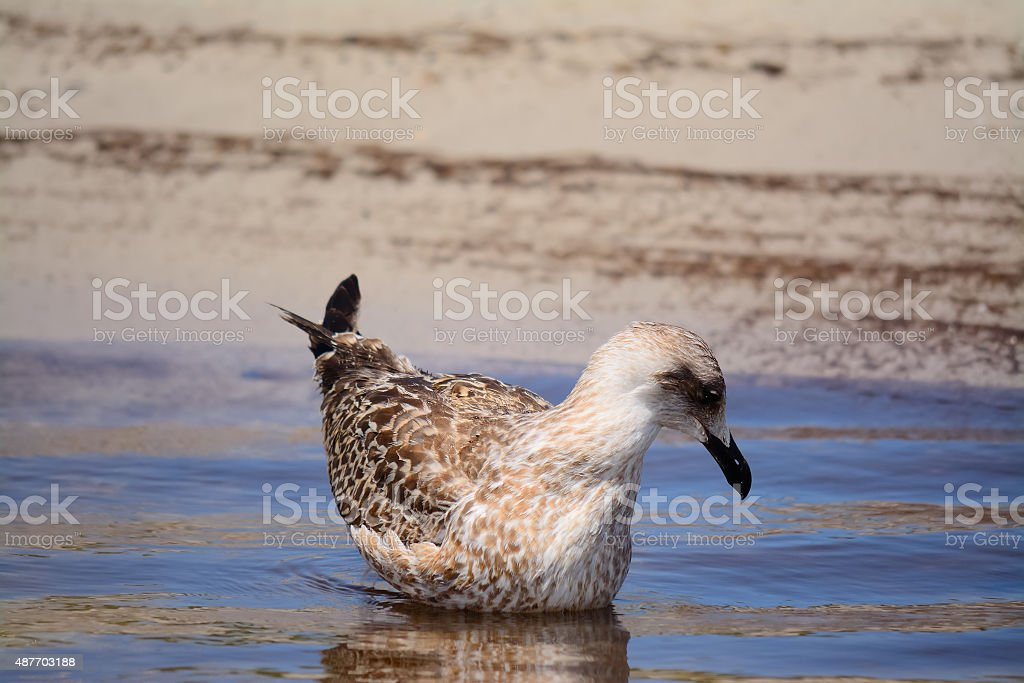 young seagull on the water stock photo