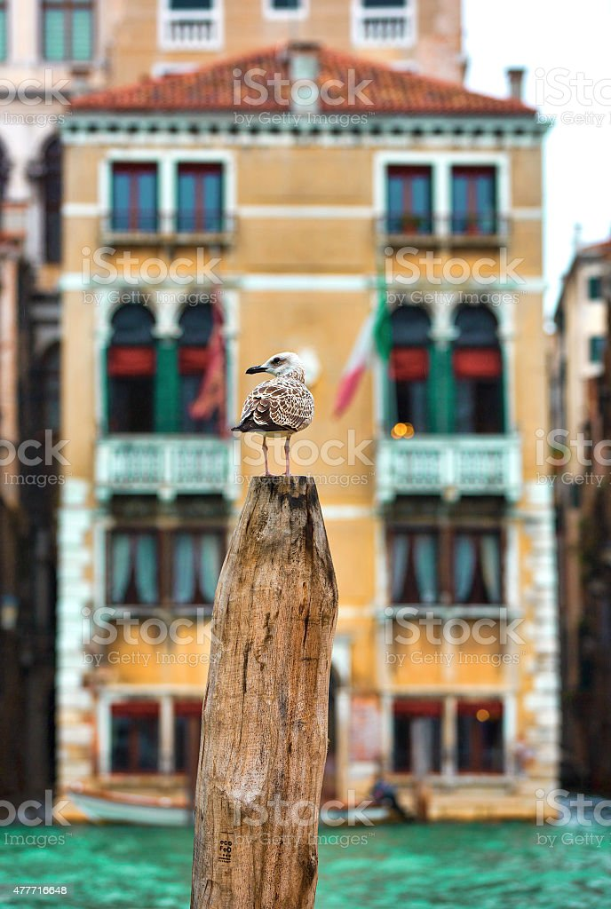 Young Seagull, Venice stock photo