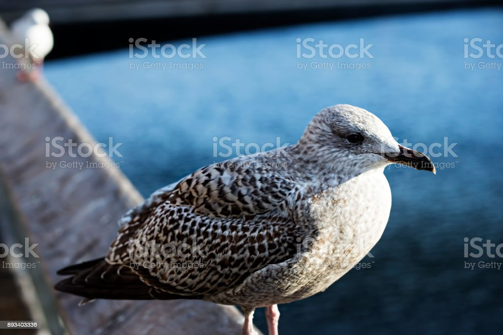 Young seagulls on sitting on the bridge, Dublin, Ireland stock photo