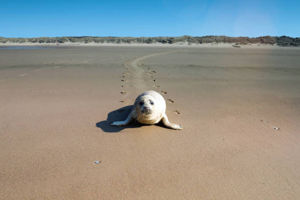 young seal on the beach seal on the beach of Calais seal pup stock pictures, royalty-free photos & images