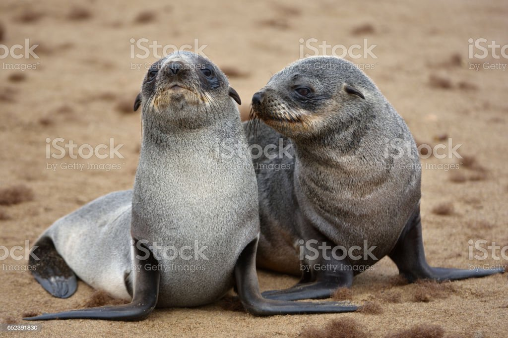 young seals at cape cross stock photo
