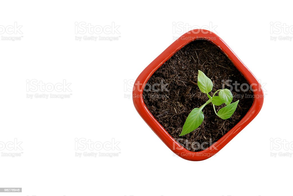 young seeding of a chili plant in red flowerpot (1) royalty-free stock photo