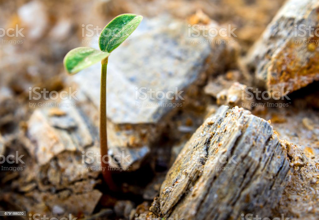 Young seeding sprout up rocky mountain soil stock photo