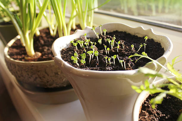 Young seedling growing in pot on windowsill (indoor) stock photo