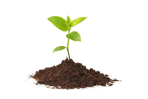 Young seedling growing out of soil over a white background stock photo