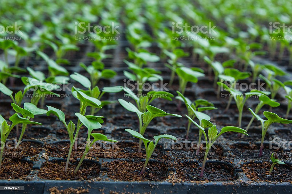 Young seedlings of cauliflower in tray. stock photo