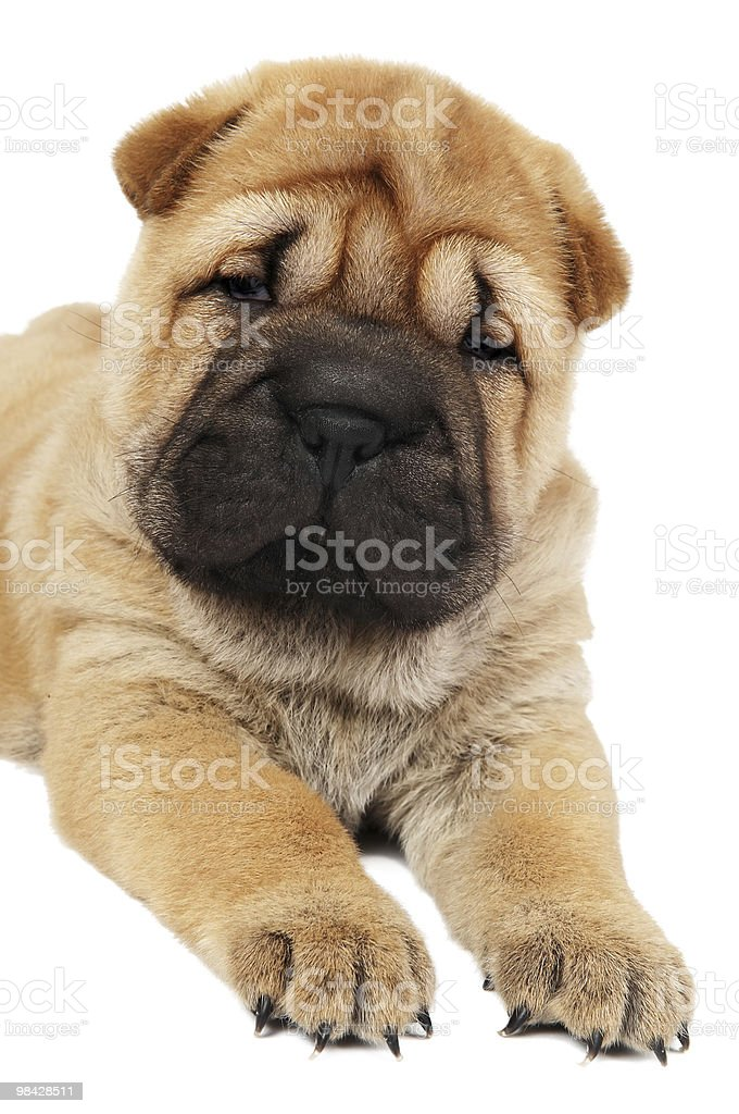 young sharpei puppy dog royalty-free stock photo