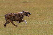young sheep dog running in a meadow