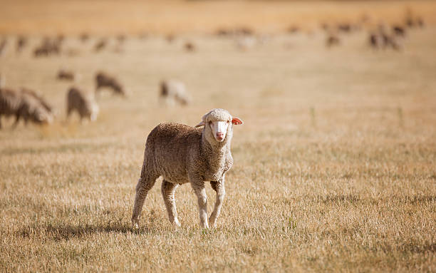 Young Sheep Young sheep in a dry Australian paddock merino sheep stock pictures, royalty-free photos & images