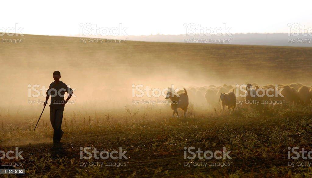 young shepherd stock photo