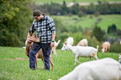 Young Shepherd Taking Care of his Herd of Goats - stock photo