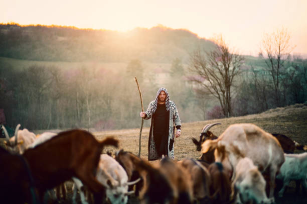 Young Shepherd With Herd Of Goats Smiling, Working, Animal, Fog, Hipster, Man , Sunset flock of sheep stock pictures, royalty-free photos & images