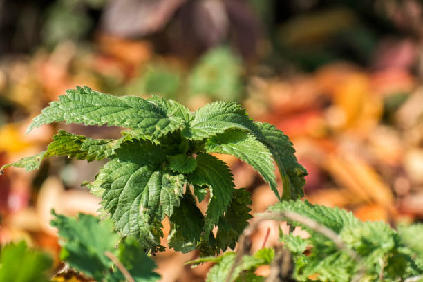 Young shoot of nettles (Urtica dioica) stock photo