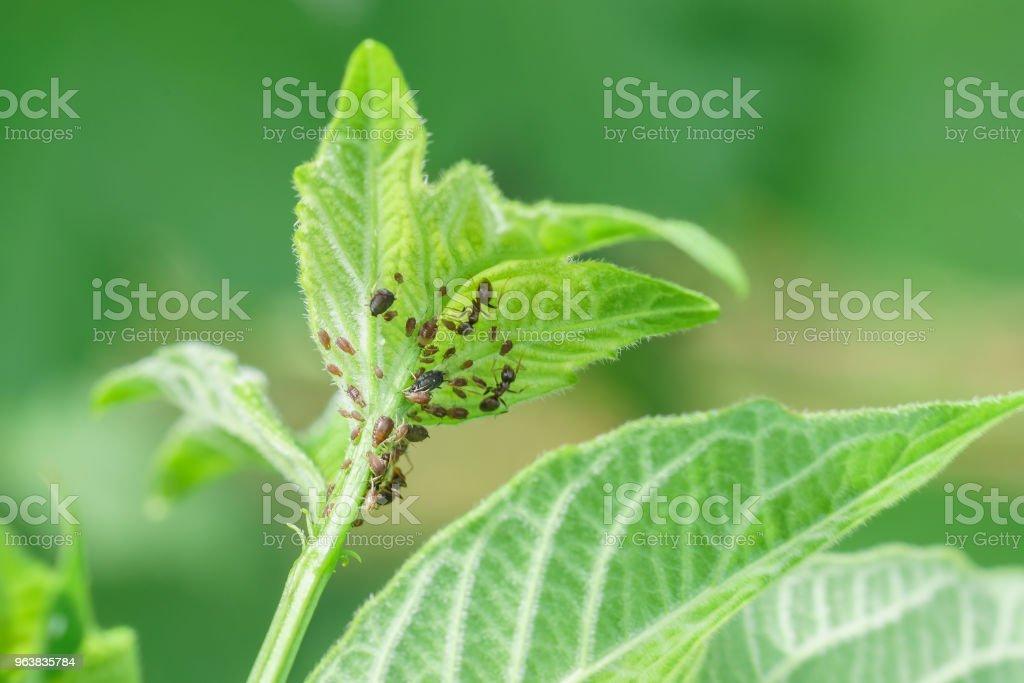 Young shoot of viburnum ordinary (lat. Viburnum opulus), damaged aphids (lat. Aphidoidea) and ant (lat. Formicidae) stock photo
