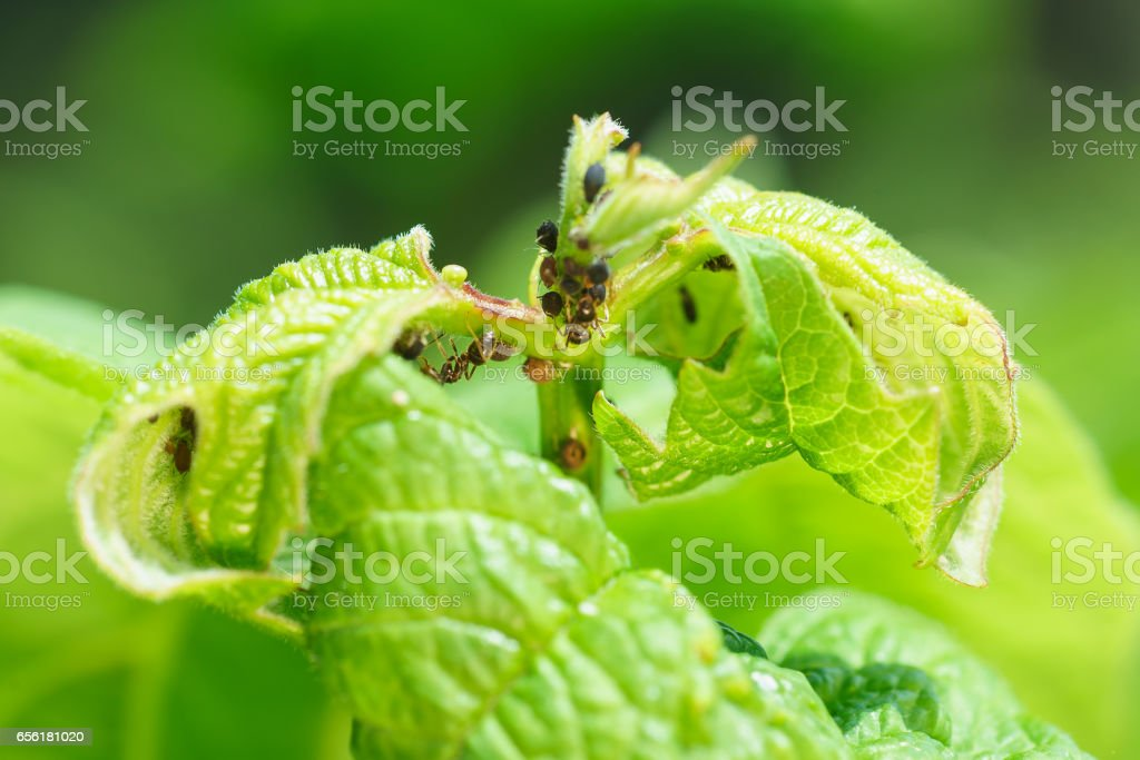 Young shoot viburnum, aphids damaged (lat. Aphidoidea) and ants (lat. Formicidae) stock photo