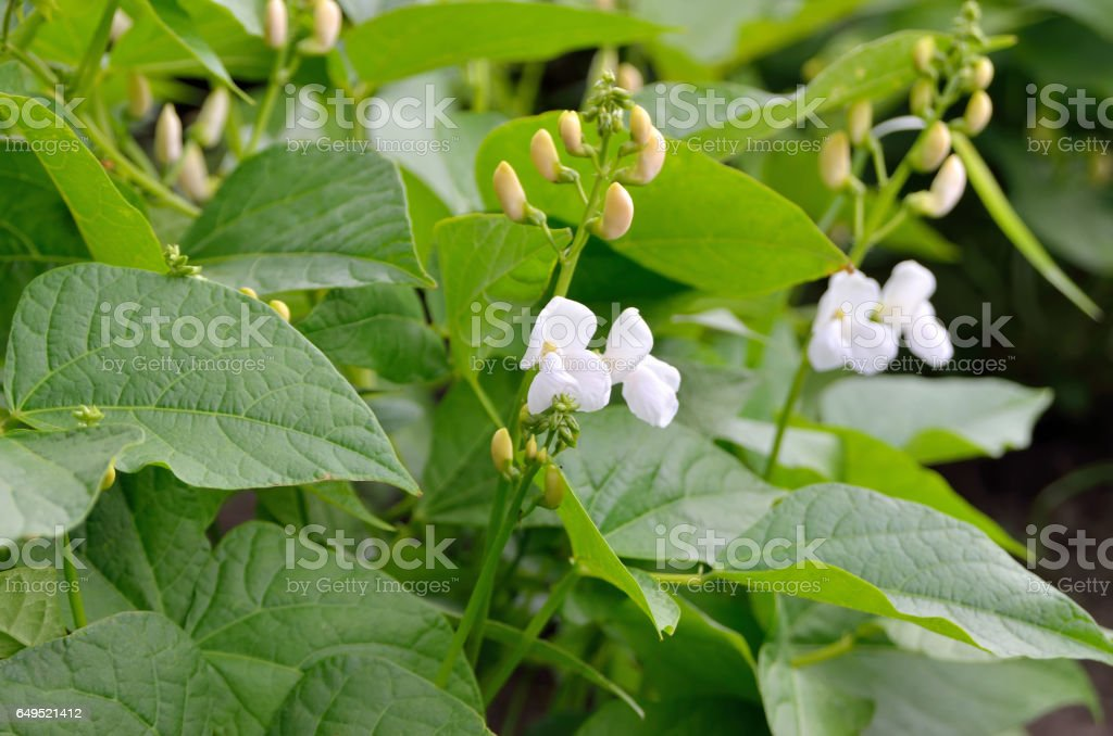 Young shoots and bean flowers in the field stock photo
