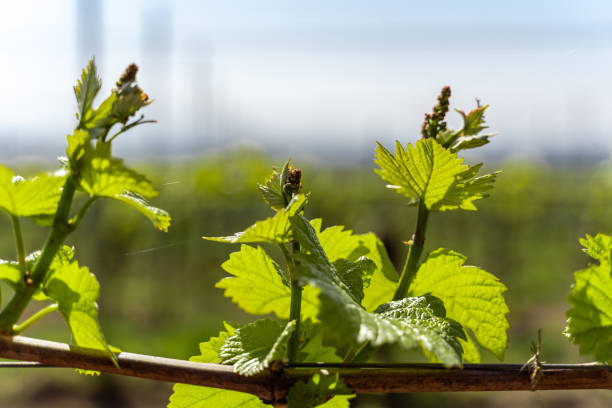 Young shoots of a grape grow in spring in the Kaiserstuhl in Germany in sunlight. stock photo