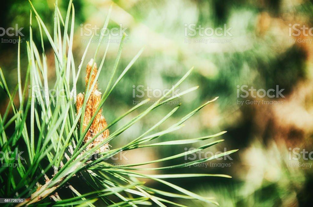 Junge Sprösslinge der pine – Foto