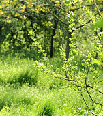 Young shoots of plum branches in the background  green grass