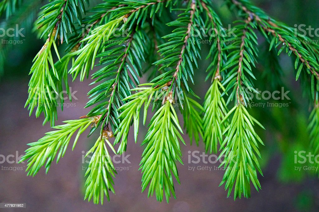young shoots of spruce branches stock photo