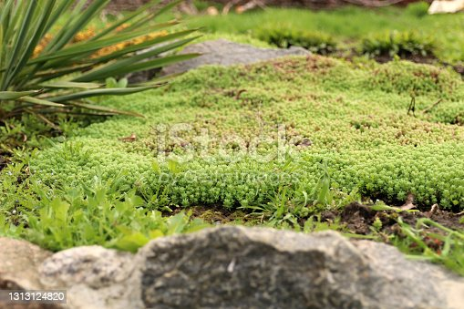 istock Young shoots of white stonecrop and   palm yucca, growing in flower bed. Sedum album. View from above. 1313124820