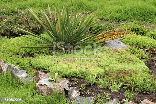 istock Young shoots of white stonecrop and   palm yucca, growing in flower bed. Sedum album. View from above. 1314602093