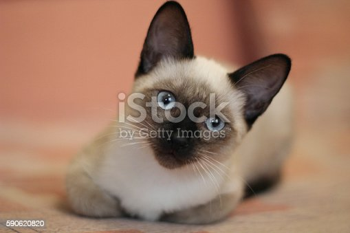 Young siamese is lying. Close up portrait of laying siamese cat. Cute cat with beautiful blue eyes. Proper care of animalsю