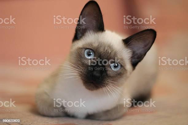 Young siamese kitten cute cat with beautiful blue eyes picture id590620820?b=1&k=6&m=590620820&s=612x612&h=k32bqc5w70zrjpwcqwmh8u1fhewqtxgyynzndwssf8a=