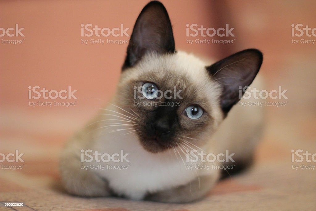 Young siamese kitten. Cute cat with beautiful blue eyes. stock photo