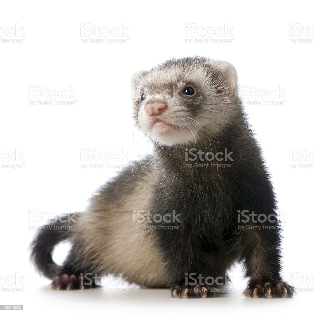 young siamese sable Ferret kit (10 weeks) stock photo