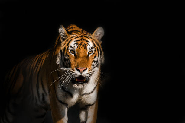 Young Siberian tiger, otherwise known as the Amur Tiger. stock photo