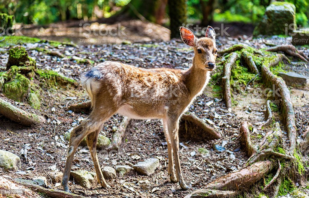 Young sika deer in Nara Park stock photo