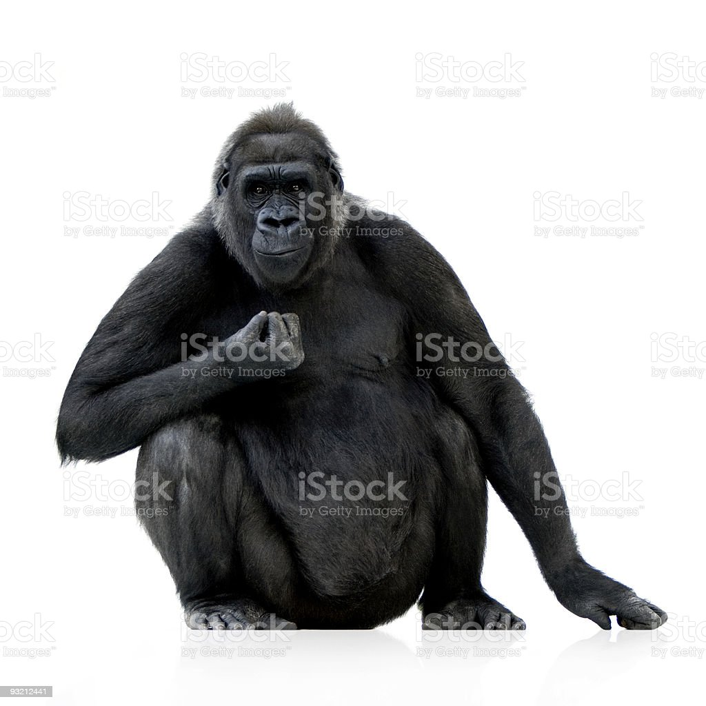 A young silverback gorilla against a white background stock photo