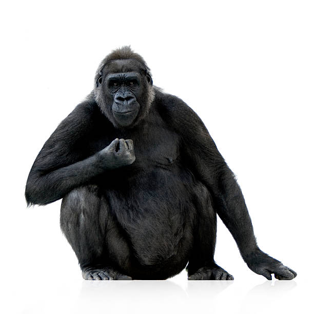 a young silverback gorilla against a white background - gorilla stock photos and pictures