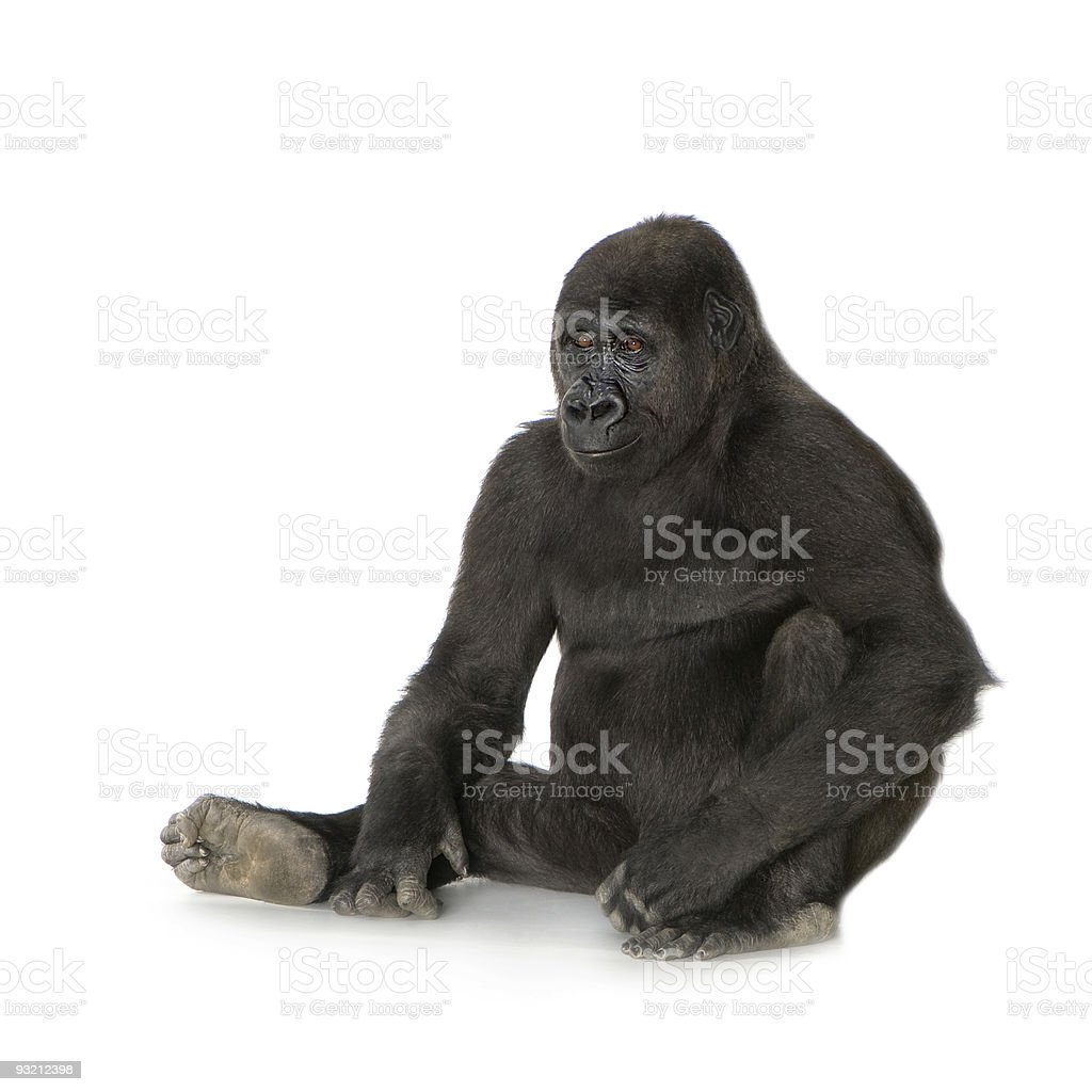 A young silverback gorilla on a white background stock photo