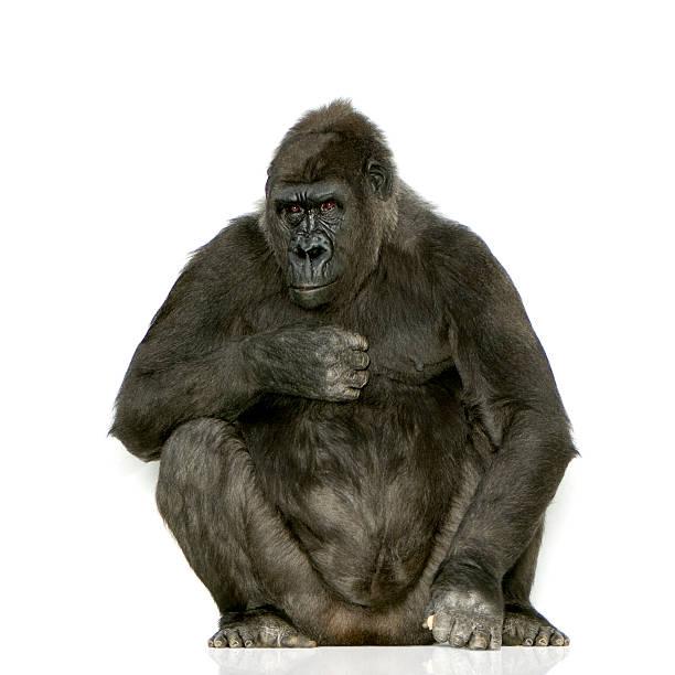 Young silverback gorilla picture id93212424?b=1&k=6&m=93212424&s=612x612&w=0&h=qo2htibul1u2v2yp21xrwusew7ujw rtie5lp01ntm8=